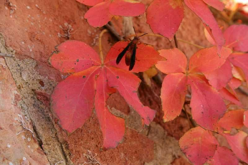 Virginia Creeper 02