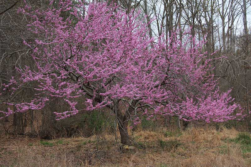 Eastern Redbud Cercis Canadensis Learning Stations At Ariel