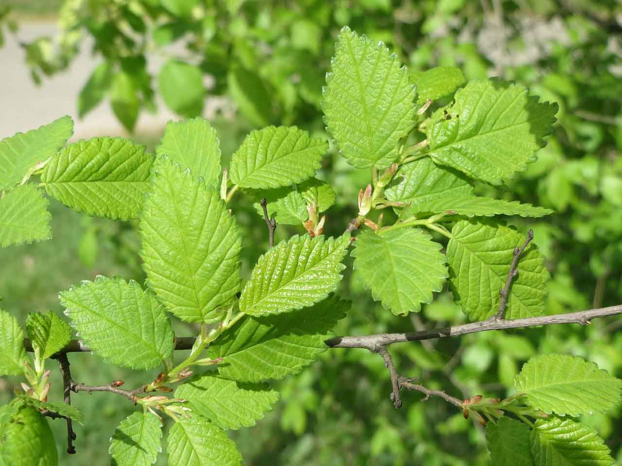 The leaves of a Slippery Elm tree