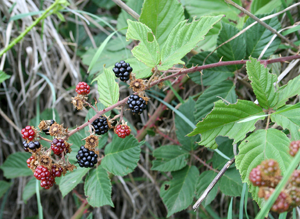 Wild Blackberry Leaves Black Raspberry (Rubus...